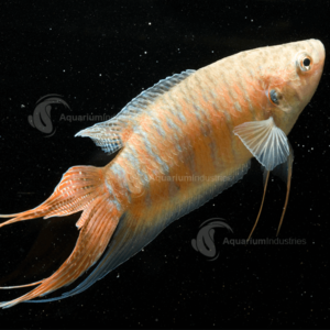 Albino Paradise Fish