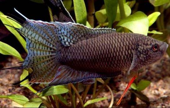 Black Paradise Fish