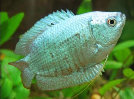 Coral Blue Gourami