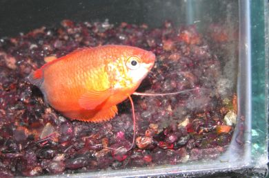 Red Honey Dwarf Gourami
