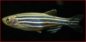 Danios are a great choice start up an aquarium using fish