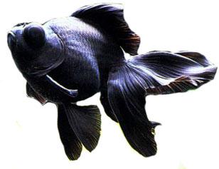 Black Moor : Black-Moor-Goldfish.jpg
