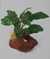 Cave Rock Barteri Coffeefolia