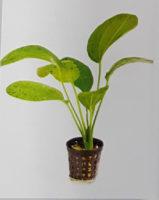 Echinodorus Green Ozelot