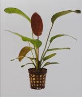 Echinodorus Red Ozelot