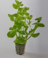 Giant Bacopa