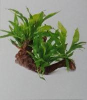 Microsorium 4 Plants