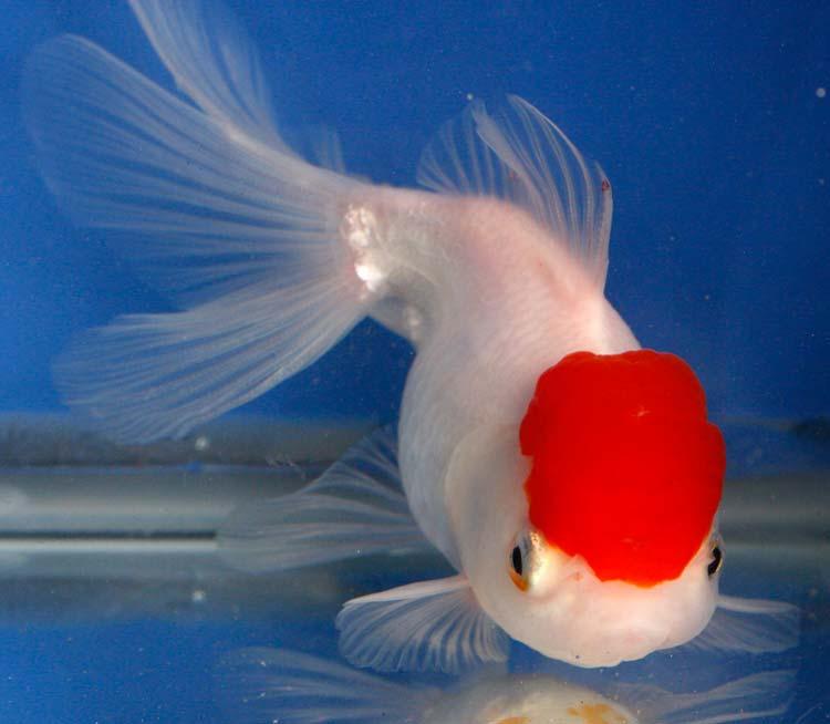 Red Cap Oranda Aquarium Fish Paradise Adelaide Sa