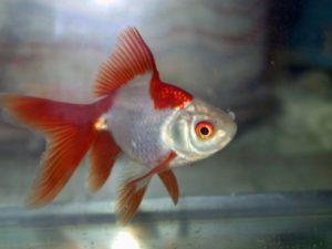 Fantail - Red & White