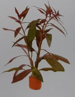 Scarlet Ludwigia