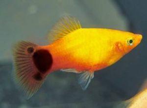 Platy | Aquarium Fish Paradise – Adelaide SA