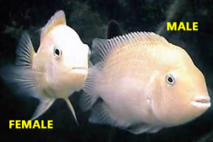 Albino Convict Male & Female