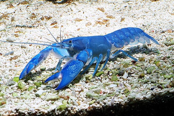 Blue Pearl Yabbie