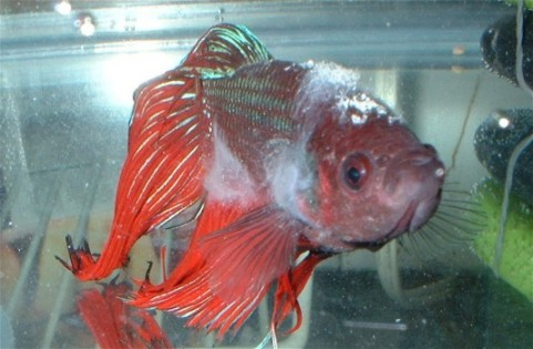 """Columnaris Disease in a fighter fish showing the """"saddleback"""" lesion, body fungus and mouth fungus"""