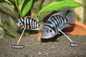 Convict Cichlid Sexing