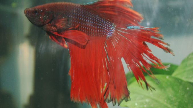 Fin Rot showing on a fighting fish