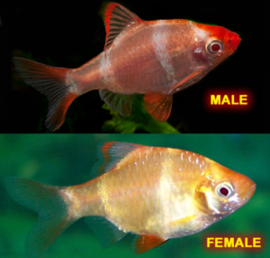 Albino Tiger Barb Female & Male
