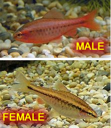 Cherry Barb Male & Female