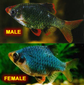 Green Tiger Barb Male & Female