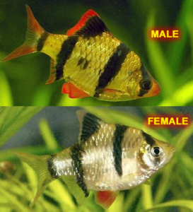 Tiger Barb Male & Female