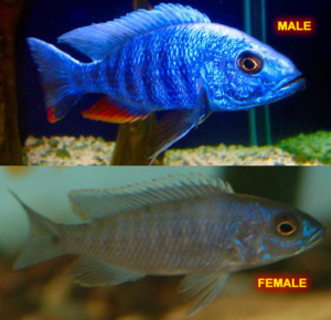 Electric Blue Cichlid - Male & Female