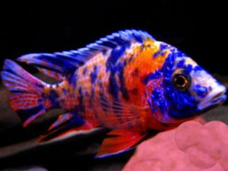 Orange Botch (OB) Marble Peacock (specimens like this are rare)