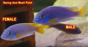 Sexing Acei Musli Point Cichlid