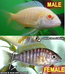Sexing Albino Peacock Cichlids (females can also appear white)
