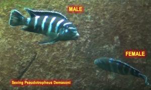 Sexing Pseudotropheus Demasoni