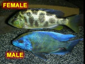 Nimbochromis venustus sexing