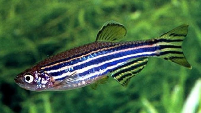 Zebra Danio